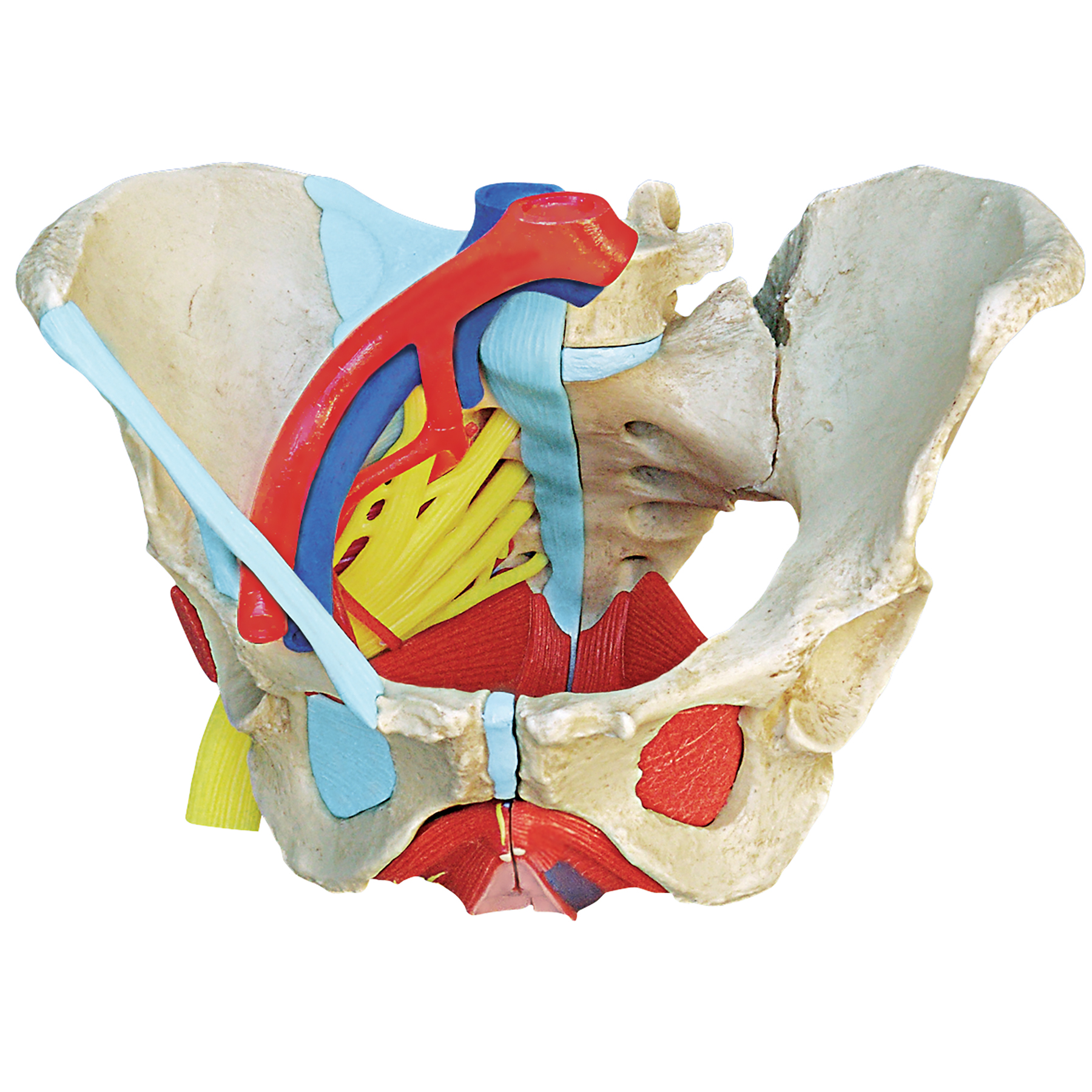 Female Pelvis with Ligaments, Nerves, Pelvic Floor, and Organs Model
